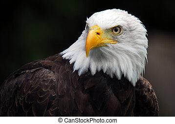 águila calva americana (Haliaeetus leucocéfalo)