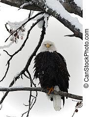 águila calva posada en rama