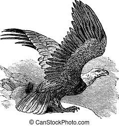 águila, vendimia, calvo, (haliaeetus, leucocephalus), engraving.