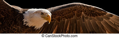 águila, vuelo