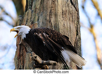 águilas, llamada