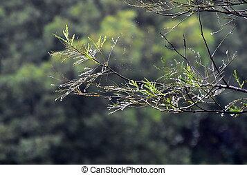 árbol, árbol, gotas del agua, lluvia, confuso, profundidad, ramas, mojado, field., fondo., rama, superficial, bosque