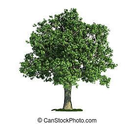 Árbol aislado en blanco, Oak (Quercus)