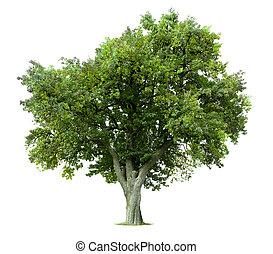 árbol, aislado, manzana