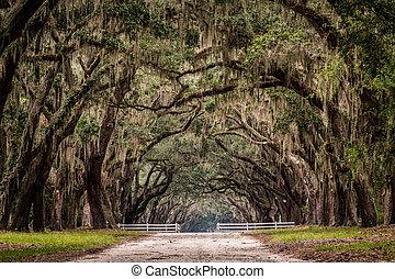 árbol, camino, vivo, túnel, suciedad, por, roble