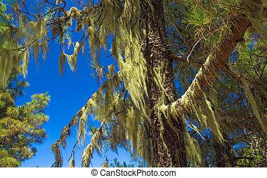 árbol, canario, interior, liquen, pino, gran, islas, cubierto, usnea, canaria, barba