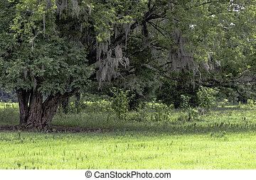 Árbol con musgo español en un campo