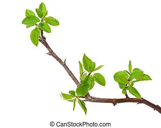Árbol de manzana con brotes de primavera aislados en blanco