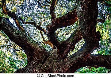 Árbol de roble ángel en la isla de John, Carolina del Sur