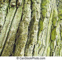 Árbol de roble ladrando con textura de musgo