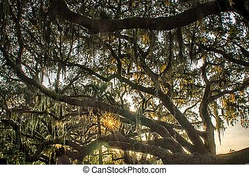 Árbol de roble vivo con quercus virginiana y musgo español al atardecer
