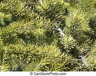árbol hoja perenne, plano de fondo
