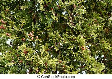árbol hoja perenne, textura