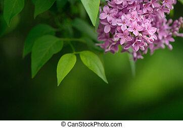 Árbol lila en primavera