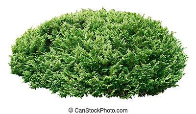 Árbol ornamental