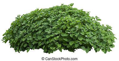 Árbol ornamental verde aislado