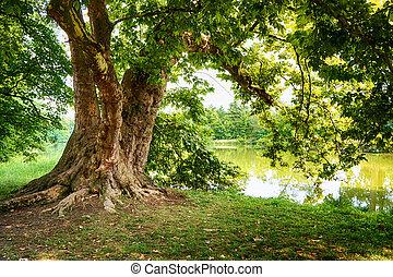 árbol viejo, roble