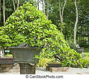 Árboles Bonsai.