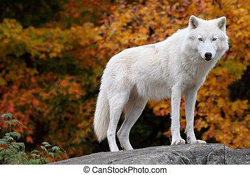 ártico, mirar, cámara, lobo, día de otoño