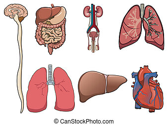 órgano humano en vector