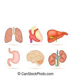 órgano humano