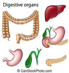 Órganos digestivos aislados