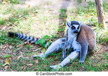 -, catta de lemur, llame tailed