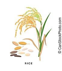 -, granos, fondo., vector, cereal, arroz, diseño, aislado, botánico, blanco, pasto o césped, plano, ilustración