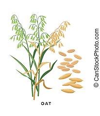 -, granos, fondo., vector, cereal, diseño, aislado, botánico, blanco, pasto o césped, avena, plano, ilustración