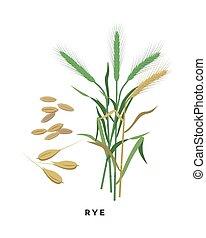 -, granos, fondo., vector, cereal, diseño, aislado, botánico, blanco, pasto o césped, centeno, plano, ilustración
