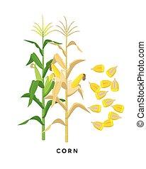 -, granos, fondo., vector, cereal, diseño, maíz, maíz, botánico, aislado, blanco, planta, plano, ilustración