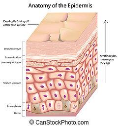 3a anatomía de la epidermis