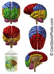3D cerebro humano