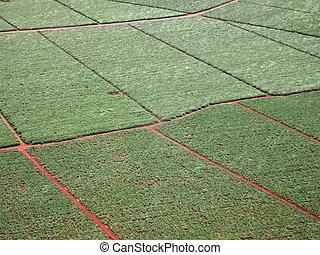 Aéreo de campos de caña de azúcar