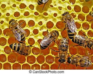 abejas, girasol, honey.