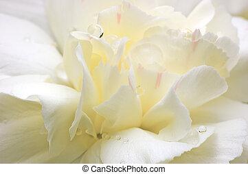 Abstrae pétalos de flores blancas macro