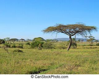 Acacia en la sabana africana, Serengeti Park, Tanzania