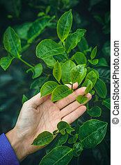 Acaricia un arbusto de té verde