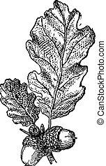 Acorn o Oak nuez con hojas, grabado añejo.