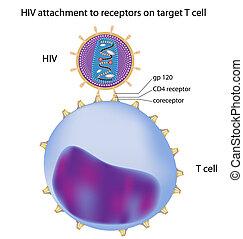 Adjunto del VIH a la célula T,