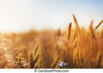 agricultura, sunset., concept., cosecha, campo, trigo