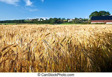 Agricultura, trigo de centeno, cielo azul