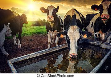 agua, bebida, pare, joven, manada