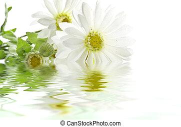 agua, margaritas, reflejar