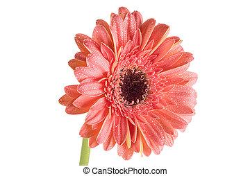 agua, rosa, fondo., gerbera, gotas, (daisy), aislado, blanco, hermoso