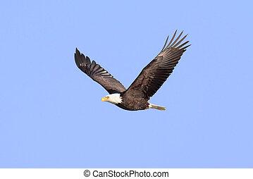 Aguila calva adulta (Haliaeetus leucocéfalo)