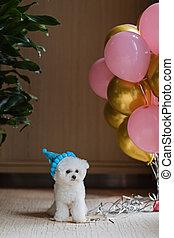 aire, globos, color, caliente, doméstico, frise, cumpleaños, lindo, mascota, fiesta, oro, celebrar, rosa, perro, home., blanco, bichon