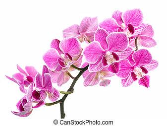 aislado, fondo blanco, rosa, rama, orquídeas