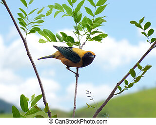 aislado, rainforest, tanager, burnished-buff, rama, brasileño, cayana), árbol, (tangara