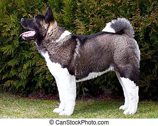 Akita inu perro